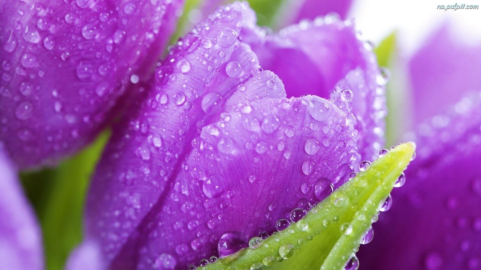 ... tulipany-krople.na-pulpit.com/zdjecia/wody-fioletowe-tulipany-krople